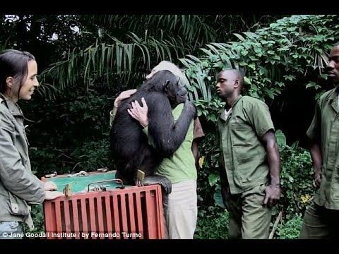 Wounda's Journey Jane Goodall Releases Chimpanzee Into ...