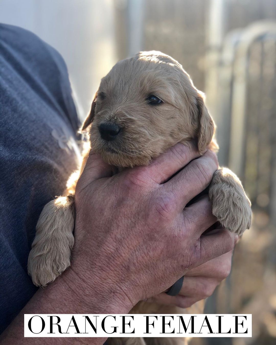 F1B Goldendoodle Puppy for Sale in Midland, Texas in 2020