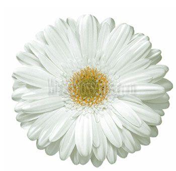 White gerbera daisy flower light center cute for tracys bridal white gerbera daisy flower light center cute for tracys bridal shower mightylinksfo