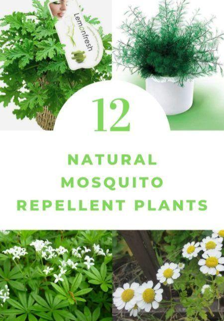 1001Gardens #mosquitoplants