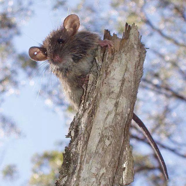 Bush Rat Bush Rat Rats Animals