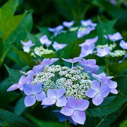 Let S Dance Starlight Bigleaf Hydrangea Hydrangea Macrophyllavibrant Lacecap Blooms Every Su Hydrangea Macrophylla Hydrangea Landscaping Bigleaf Hydrangea