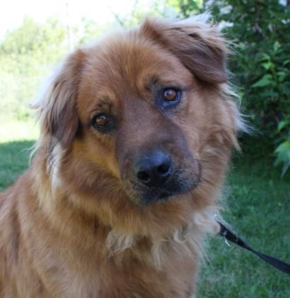 Adopt Brutus On Golden Retriever Mix Animal Shelter Dogs