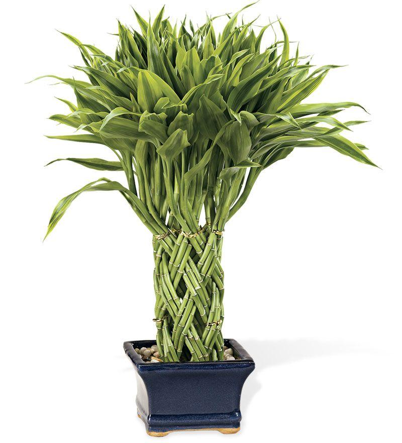 نبات البامبو 06ab57f4bc3914bfd60cf41bdeecf70f