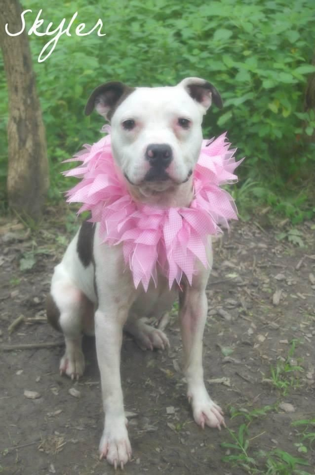 Skylar Super Urgent Youngstown Ohio Meet Skylar A Petfinder Adoptable Terrier Dog Youngstown Oh Petfin Animal Heros Pitbull Pictures Dog Adoption