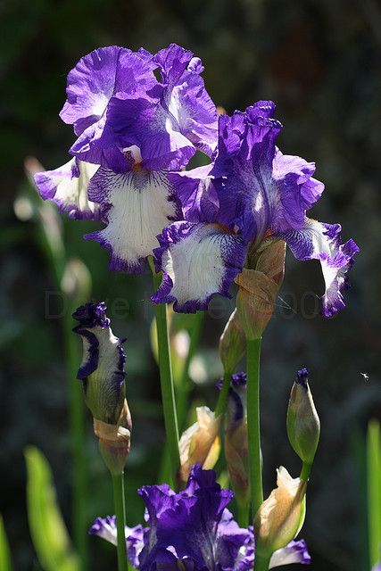 Purple And White Coloured Iris Flowers Copyright Dave Halley 2009 Iris Flowers Most Beautiful Flowers Beautiful Flowers