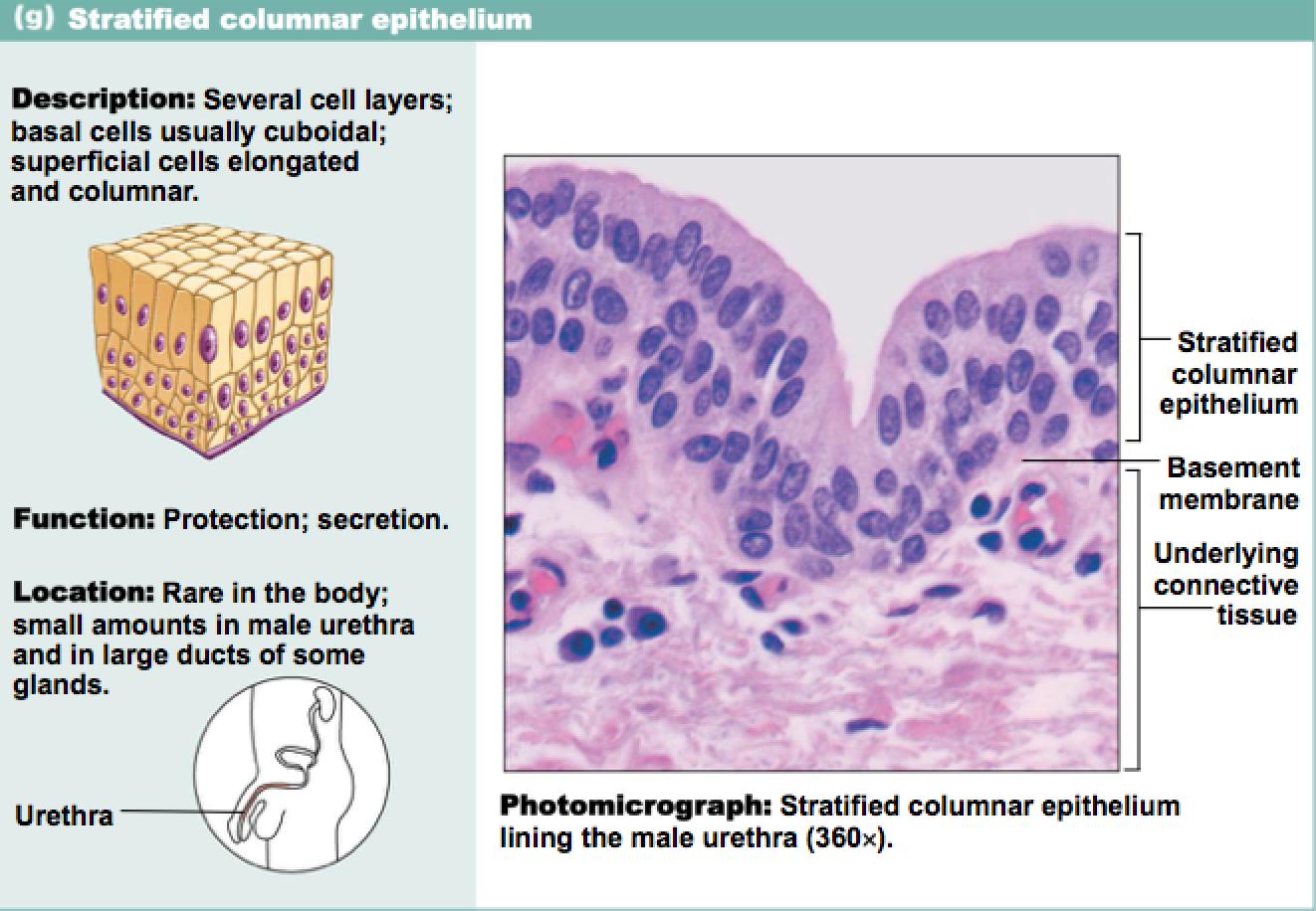stratified columnar epithelium diagram 1998 jeep tj radio wiring epithelia human biology pinterest anatomy