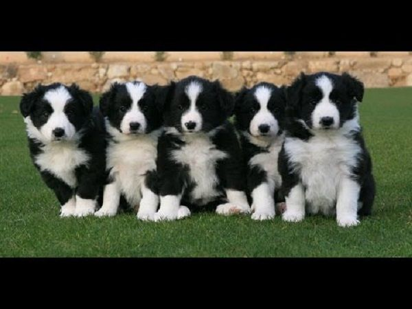 Border Collie Puppies For Sale In Texas Zoe Fans Blog Collie