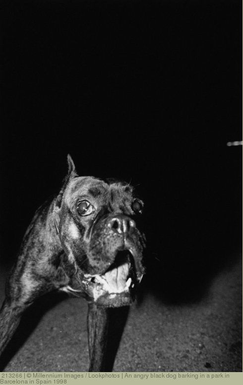 An angry black dog barking in a park in Barcelona in Spain 1998