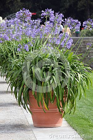 African Lilly Bulbs Agapanthus In To The Big Ornamental Pots Agapanthus In Pots Agapanthus Provence Garden