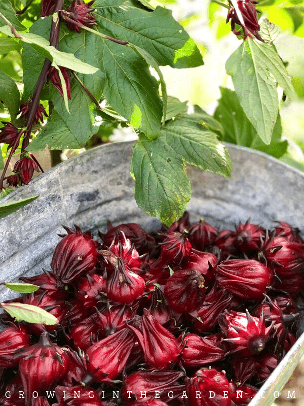 How to grow Roselle Hibiscus Growing Jamaican Sorrel is part of Roselle, Roselle plant, Hibiscus, Home grown vegetables, Butchart gardens, Hibiscus leaves - Learn how to grow roselle hibiscus, and enjoy the seasonlong color, beautiful blooms, and red flavorful calyces it produces