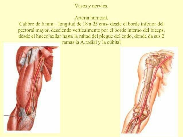 arteria humeral | TANATOPRAXIA | Pinterest