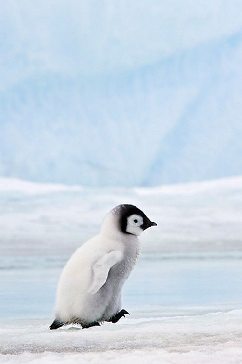 Classy woman animals pinterest penguins emperor and
