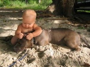 Safest child in the world. I love pit bulls!