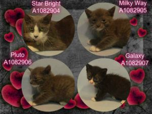 **TO BE DESTROYED 7/31/16** THESE KITTENS ARE OUT OF THIS WORLD!!! Milky Way, Pluto, and Galaxy are three teeny babies in grave danger tonight. They came into ACC with their mom but only the kittens are on tomorrow's list. They are in need of some TLC, a warm bath and a loving foster home. Please open your heart and home to these babies. Apply to a rescue to foster before it is too late!!!