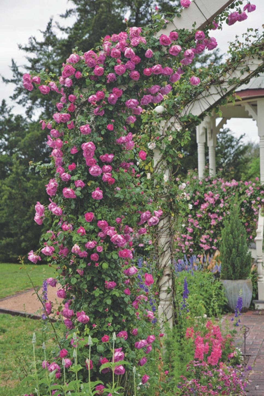 Bildergebnis für american beauty rose
