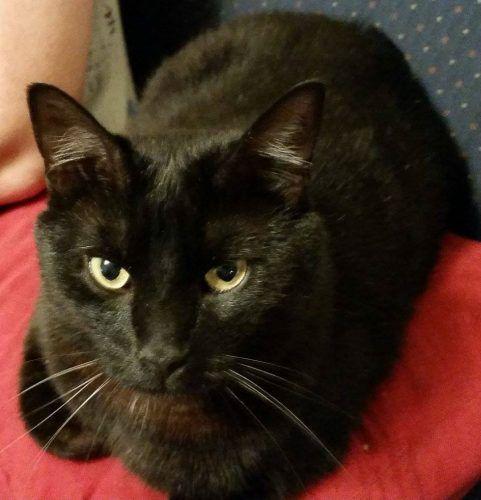 Help Findcorbett Lost Black Cat Cahokia Stlouis Illinois Missing Blackcat Il Usa American Shorthair Cat Lost Cat Cats
