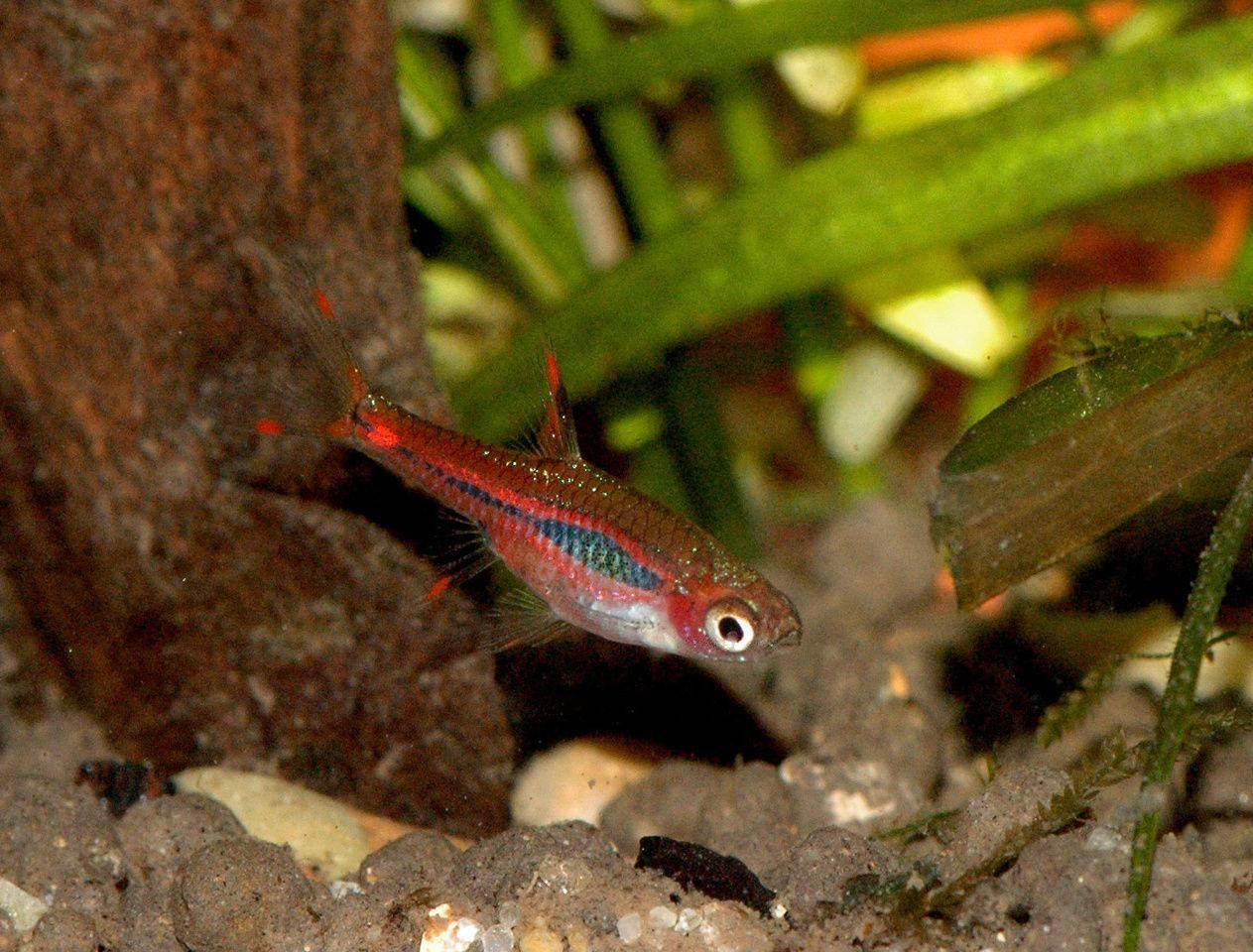 Freshwater aquarium fish rasbora - Chili Rasbora Boraras Brigittae Chiliswetfreshwater Fishaquarium