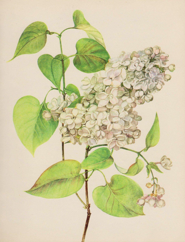 Vintage White Lilac Print Romantic Lilac White Flower Botanical ...