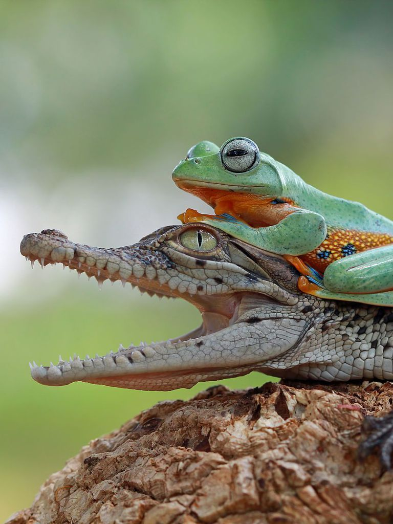 frog Google Search Cute reptiles, Cute frogs, Amphibians