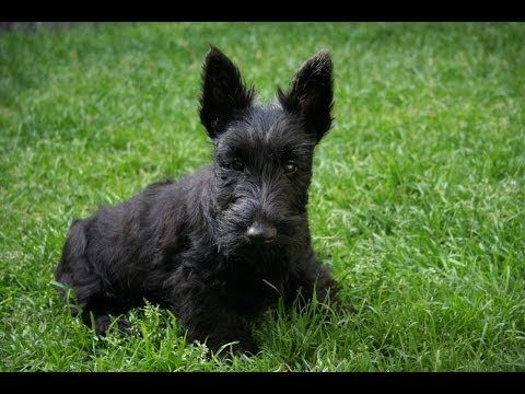 Scottish Terrier Puppies For Sale In San Diego California