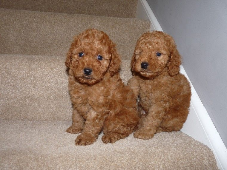 Red F1 Cockapoo Puppies Cockapoo Puppies Puppies Cockapoo