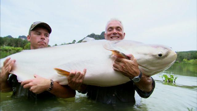 mekong giant catfish. mekong giant catfish | river monsters animal planet