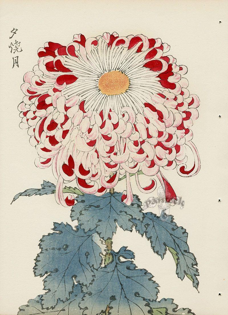 From Art Of The Japanese Chrysanthemum Japanese Woodblock Printing Botanical Illustration Japanese Prints