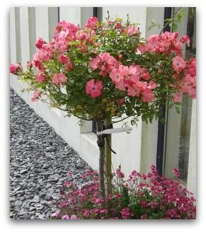 Standard Flower Carpet Rose Coral These Standard Roses Are Great In Large Containers And Perform For Years If Fed Growing Roses Container Roses Standard Roses