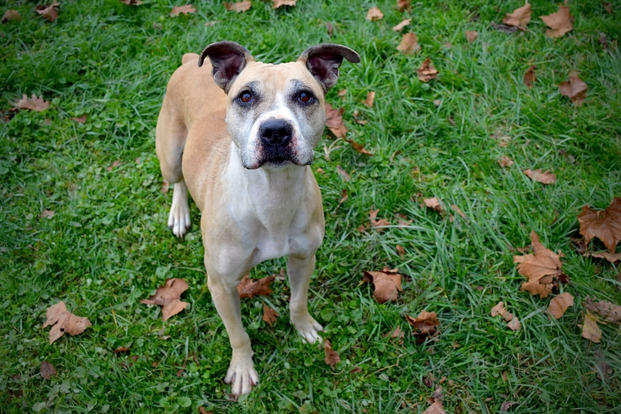 Adopt Marley on Pitbull facts, Pitbull pictures, Pitbull