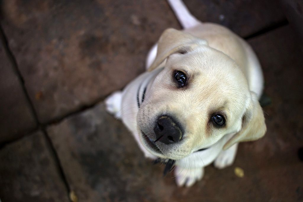Tommy, an English Labrador puppy at Training Canines LLC