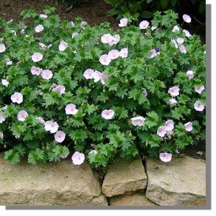 geranium sanguineum 39 apfelbl te 39 garten blut storchschnabel bild 2 work pinterest. Black Bedroom Furniture Sets. Home Design Ideas