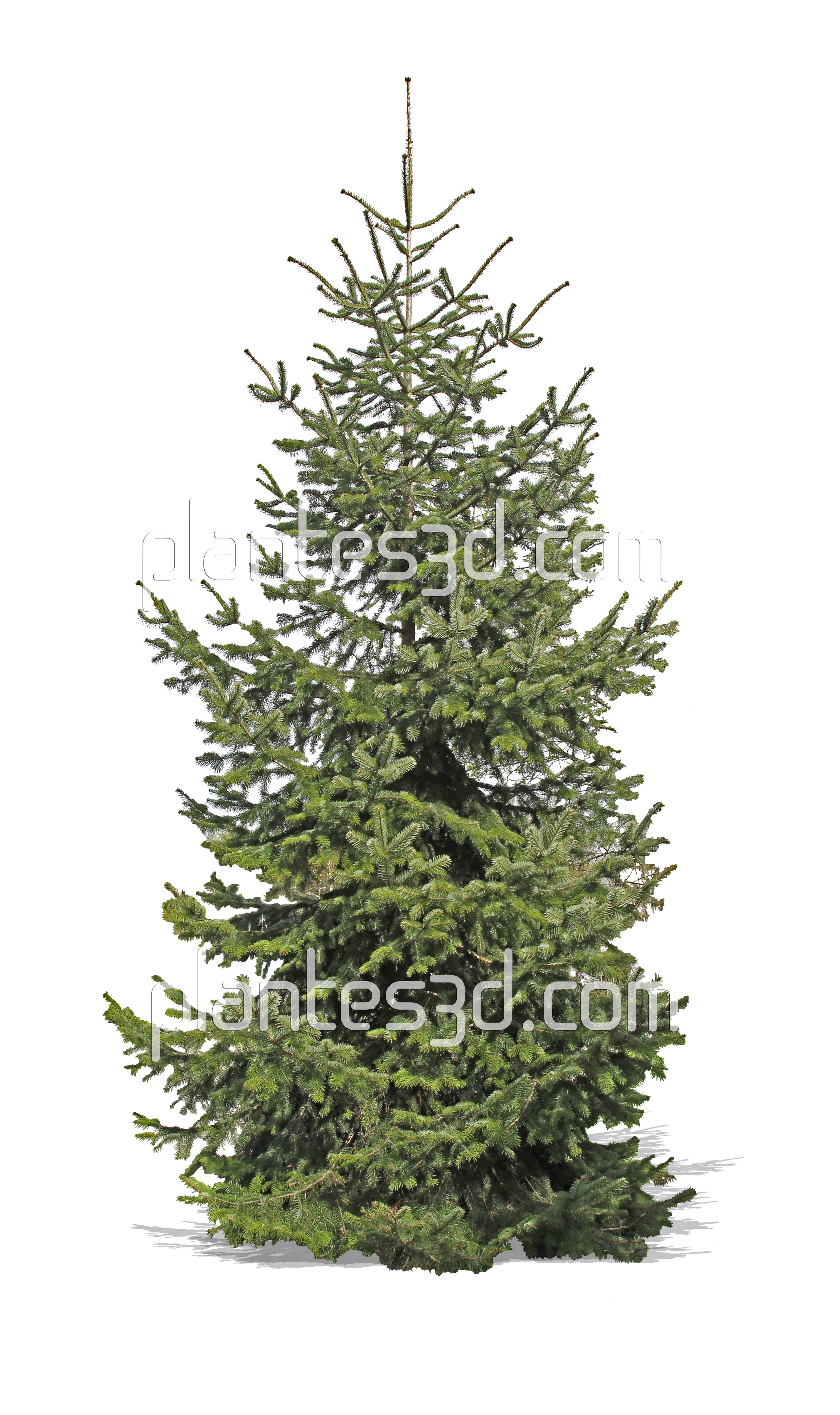 Conifère 2d- Abies cutout | Coniferes détourés- Conifers Pine cutout ...