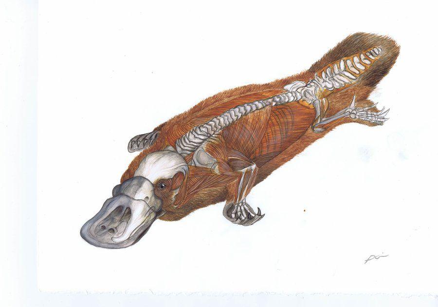 Anatomical Cut-Away Platypus by Ari-Chand | 타투 참고 이미지2 ...