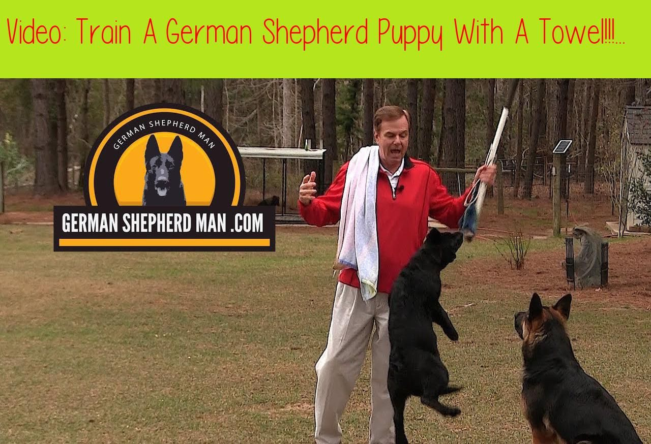 Train A German Shepherd Puppy With A Towel German Shepherd Man