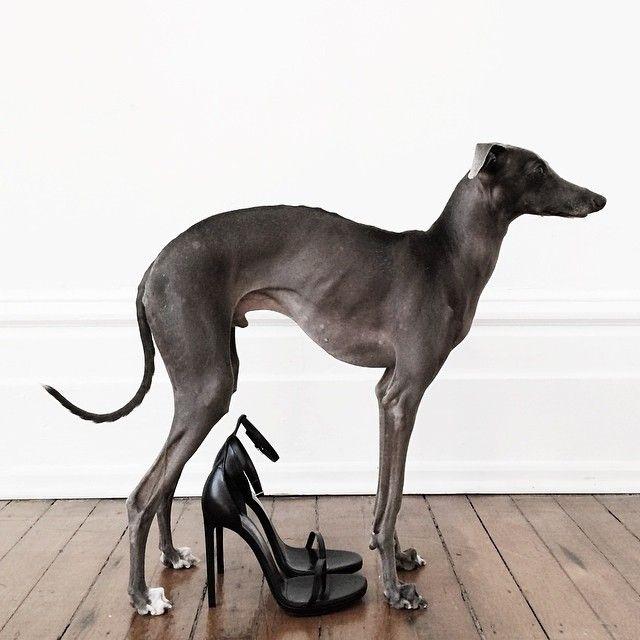 Italian Greyhound Style Icon