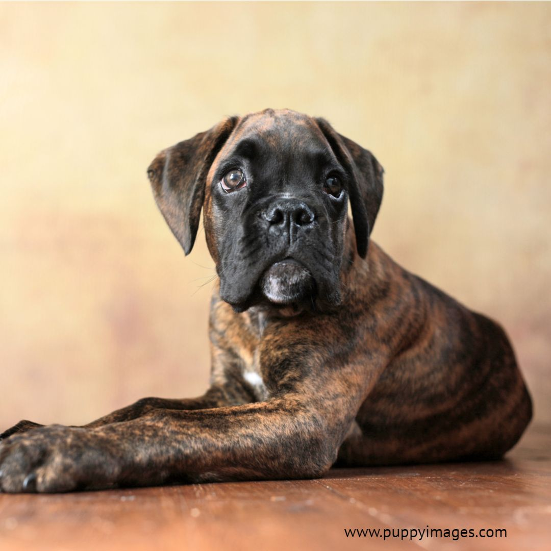 Boxer puppy on floor boxer puppy black labrador puppy