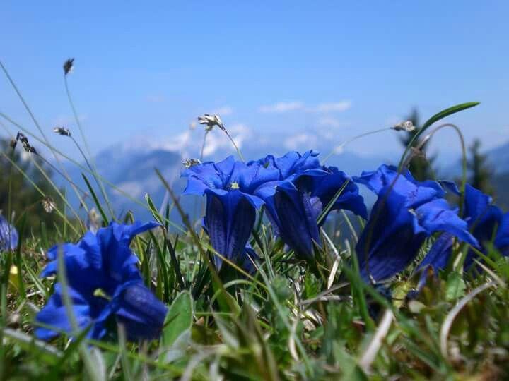 Enzianzeit - Blauwe gentiaan