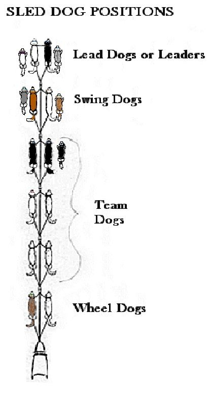 Dog Sled Positions Dog Sledding Sled Iditarod Activities