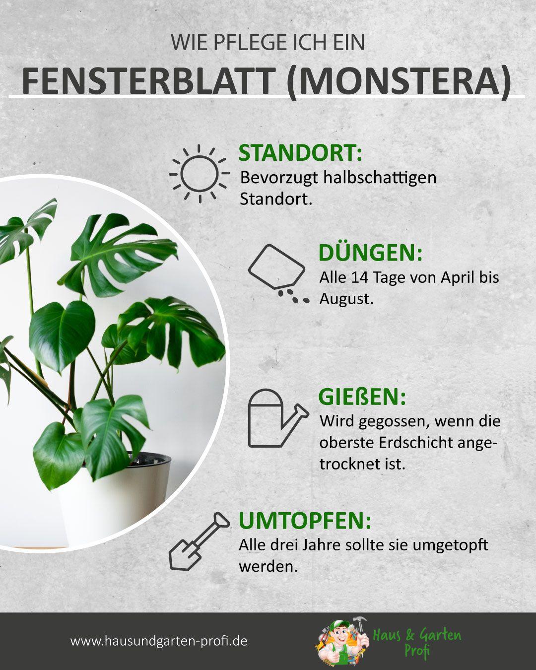 Fensterblatt (Monstera): Das richtige Pflegen So einfach geht's (Standort, Düngen, Gießen, Umtopfen)