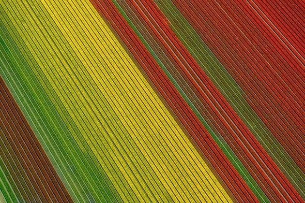 Aerial Photos Of Tulip Fields Look Like Abstract Paintings