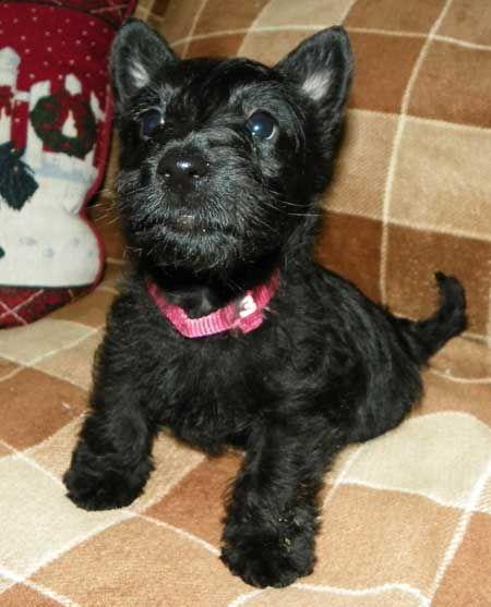 MacTavish Scottish terriers,scottish terriers puppies for