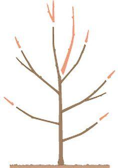 Apfelbaum Schneiden Tipps Fur Jede Baumgrosse Obstbaumschnitt U