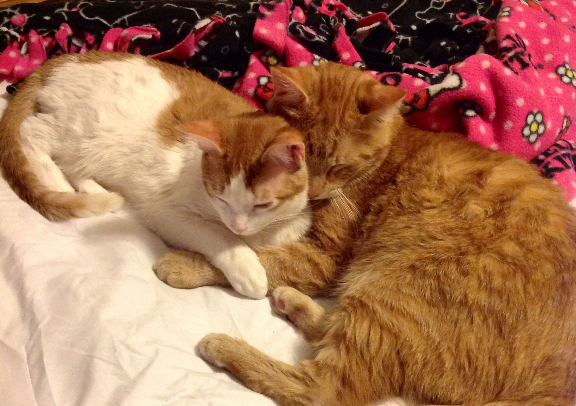He Is A Fierce Protector Of His Kitten Cat Nap Cat Sleeping Orange Cats