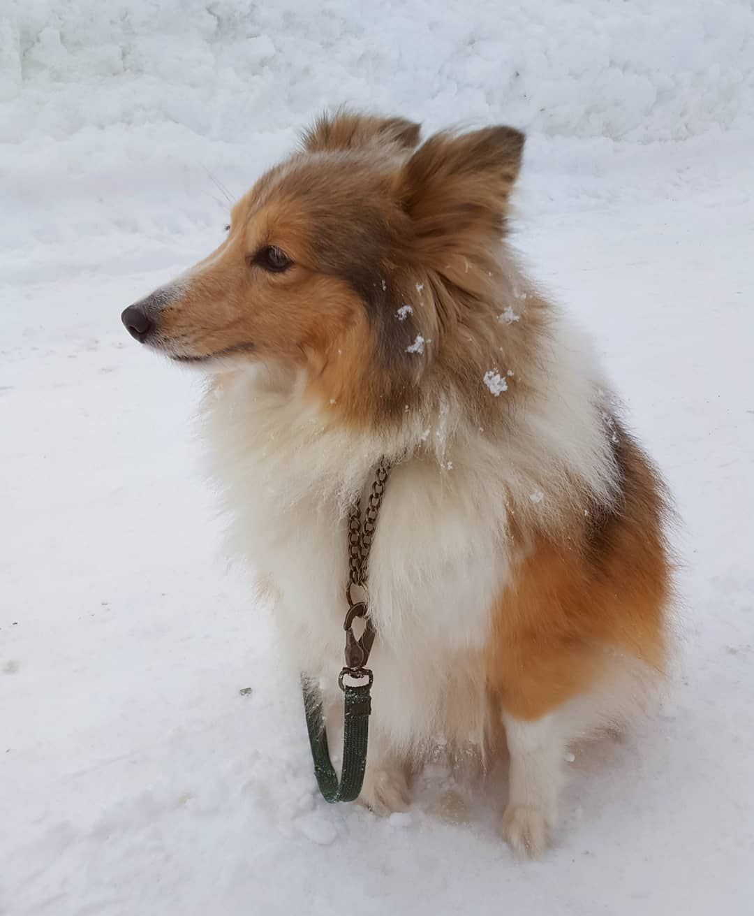 シェルティ 子犬