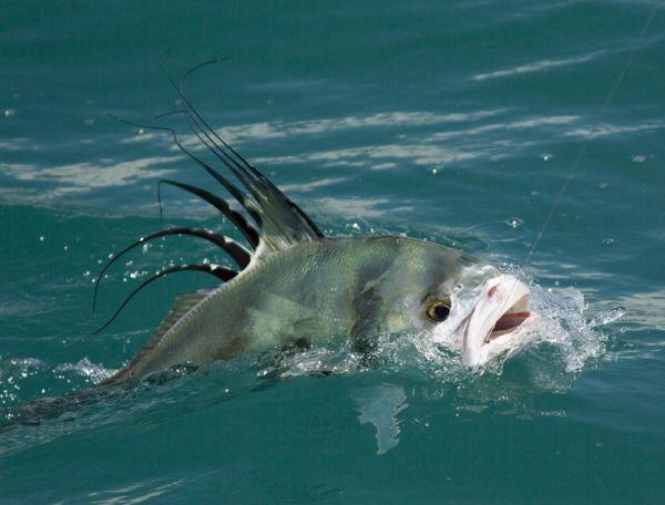 Roosterfish Osa Peninsuala, southern Costa Rica