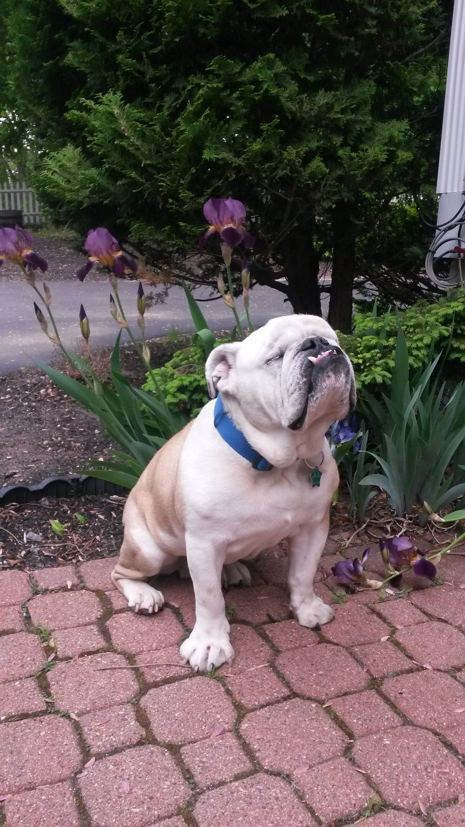 Pin By Arney S Residential Commercial On English Bulldogs