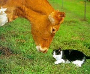 cat cow  cat cow pose pet cows cat drinking