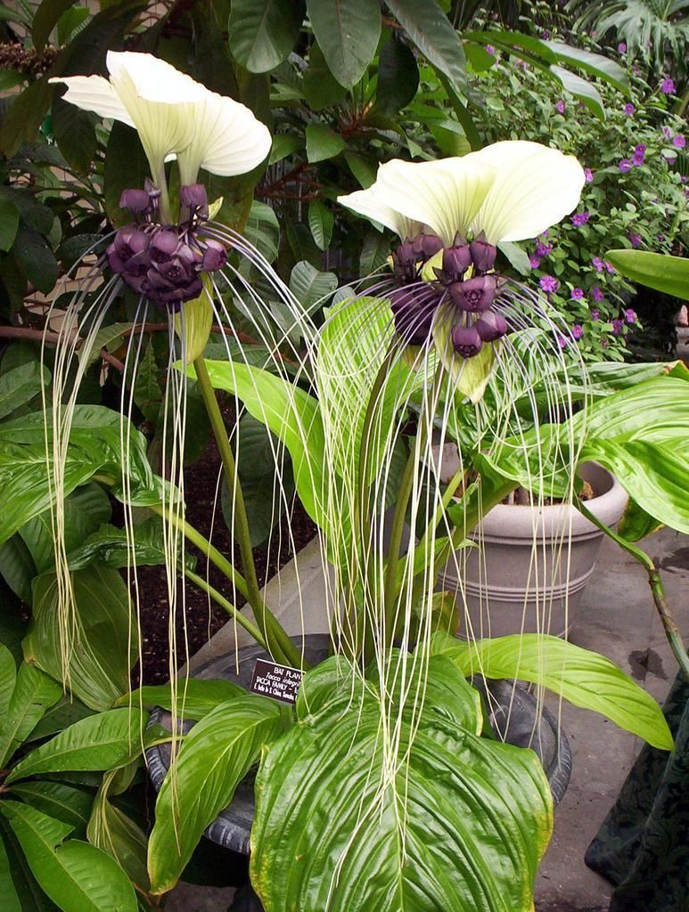 Bat plantg 7731024 unusual flowers pinterest bat plant bat plant tacca integrifolia the white bat plant is one of the worlds largest and most unusual flowers its strange little black flowers come in izmirmasajfo Images
