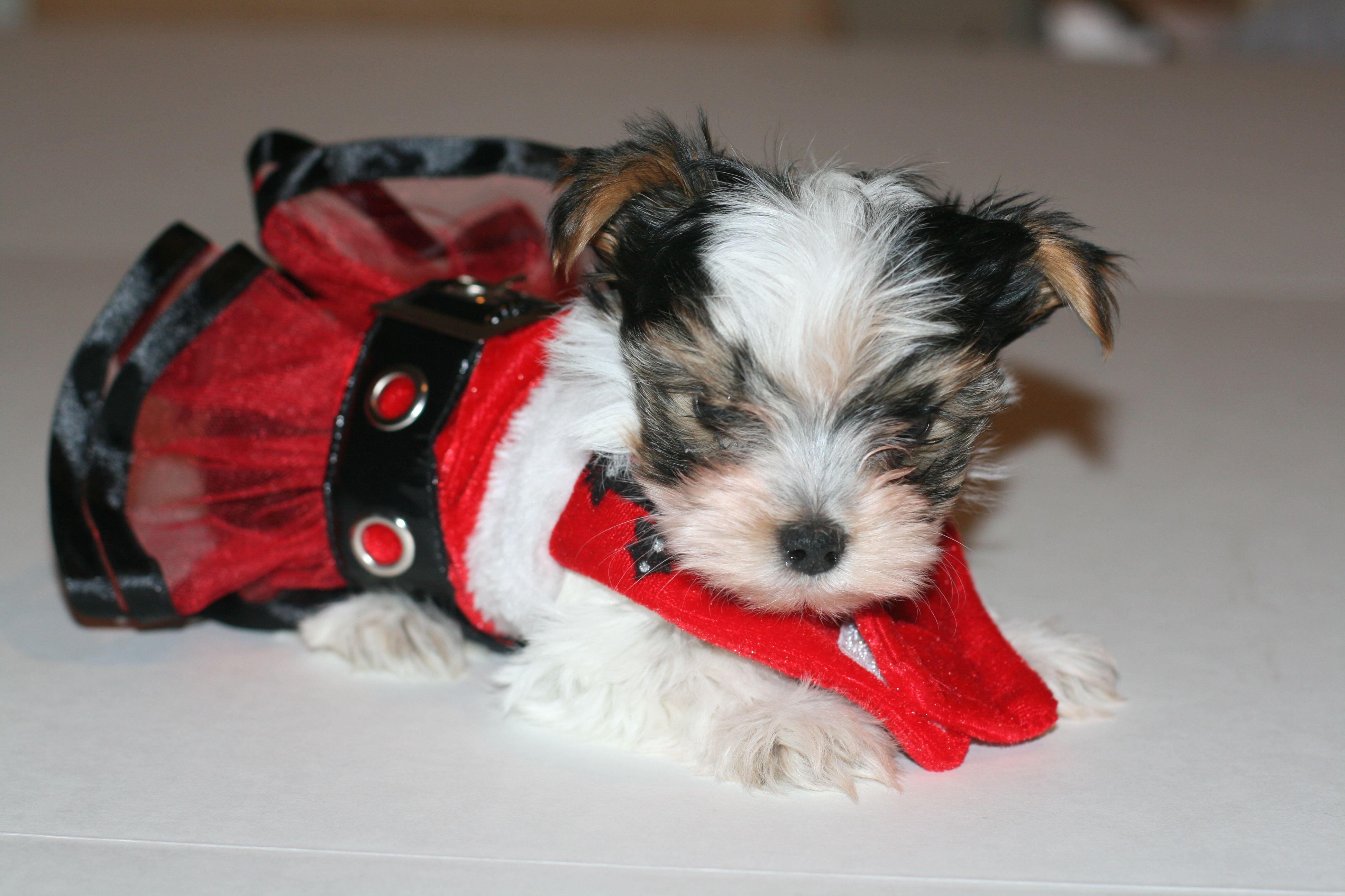 8 Week Parti Yorkie Yorkie Getting A Puppy Puppy Love